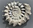 Ceratosphinctes cf. septenarius (Qu)