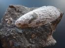 Myoconcha quadricosta