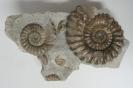 Androgynoceras