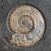 Harpoceras serpentinum