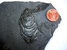 Muschel Pseudomytiloides dubius