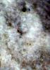 Loxolenichnus stellatocinctus BRETON & WISSHAK, 2017