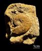 Ammonit Hauericeras sp.