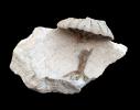 Coeloptychium sp.