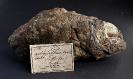 Hoplopteryx lewesiensis, historischer Fund, Chalk, Folkestone