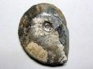 Pseudoschloenbachia umbulazi