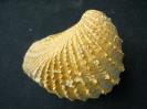 Pterotrigonia castrovillensis