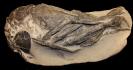 Atherfieldastacus magnus (M'Coy 1849)