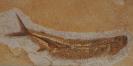 Cladocyclus gardneri Agassiz, 1841