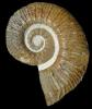 Crioceras sp.