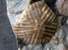 Carabocrinus vancortlandi