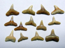 Carcharhinus cf. limbatus