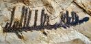 Walchia piniformis STERNBERG, 1825