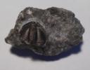 Pseudophillipsia (Trilobit)