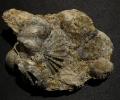 Horridonia granulifera (Toula)