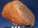 Mammuthus primigenus