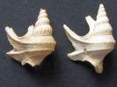 Apporhais scaldensis