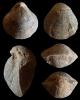 Brachiopode Coenothyris vulgaris (SCHLOTHEIM, 1820)