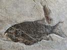 Heterolepidotus dorsalis, KNER 1866, Legnotus krambergi, BARTRAM